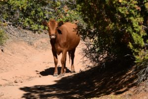 Calf hiking on Hop Valley trail